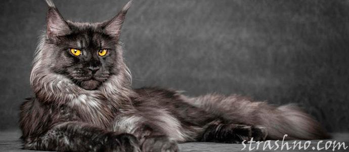 мистическая история про кота Мейн кун