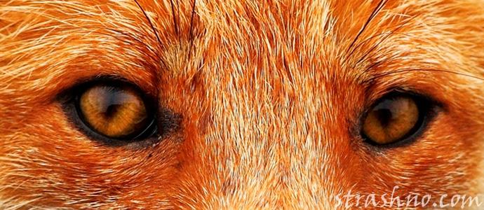 глаза лисы